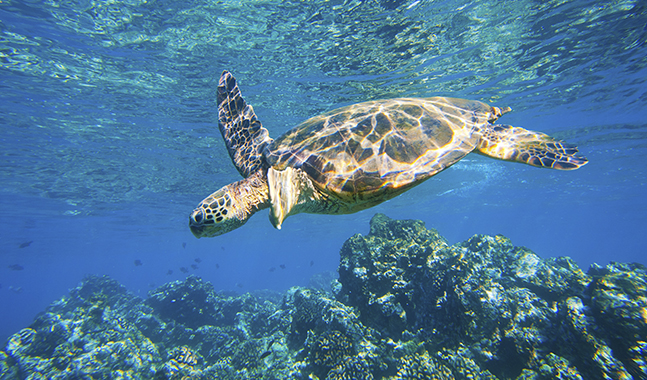 Hawaiian Green Sea Turtle Underwater